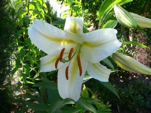 Lily Flower used to produce Lily Essential Oil