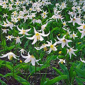 Lily Field used to produce Lily Essential Oil